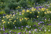 Crocus and Narcissus pseudonarcissus naturalised in long grass