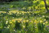 Carpet of crocus, Fritillaria meleagris and Narcissus pseudonarcissus naturalised in long grass